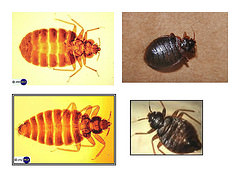 Bed bugs category archives page 3 of 4 san francisco for Bed bugs san francisco