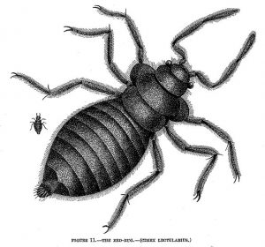 642px-The_Bed-Bug_Cimex_lectularius-300x280